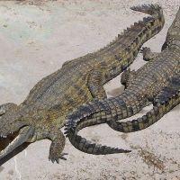Crocodilos, jacarés e outros répteis similares