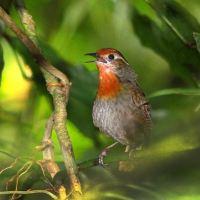 Os diversos pássaros chamados 'Uirapuru'