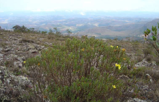 Trembleya rosmarinoides, espécie endêmica na Serra do Gandarela