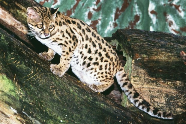Gato-Maracajá
