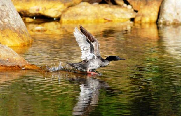 Pato-Mergulhão - Reprodução de Gambarini