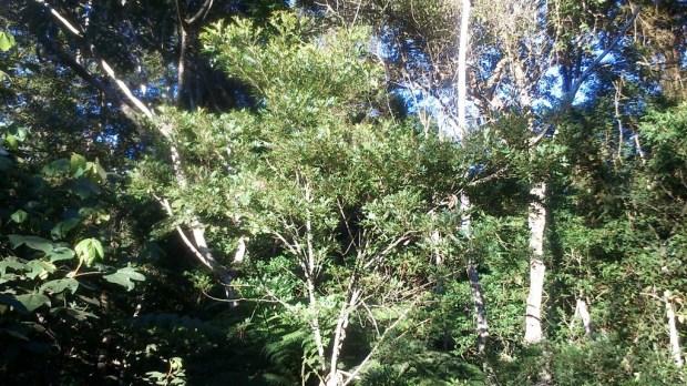 Árvore conhecida como Arranha-Gato