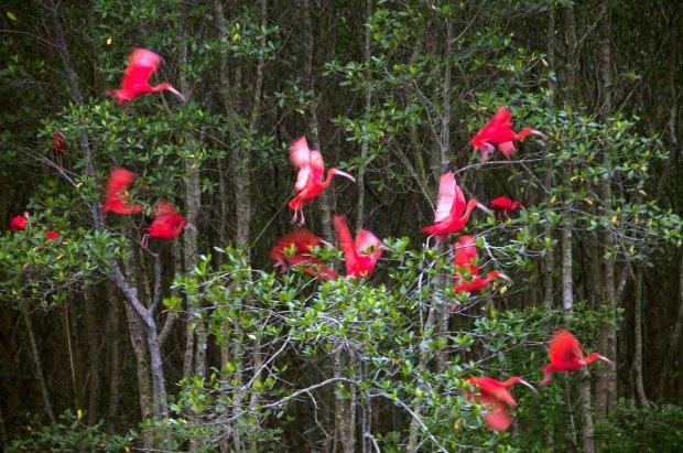 Vôo de guarás em área de manguezal