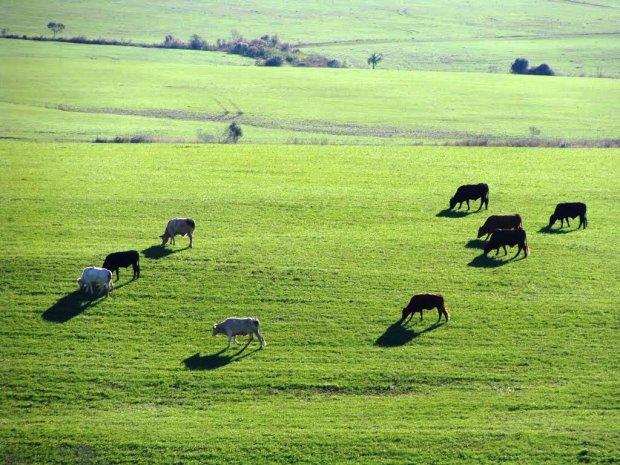 Vacas e bois em exercício de repasto no gramado