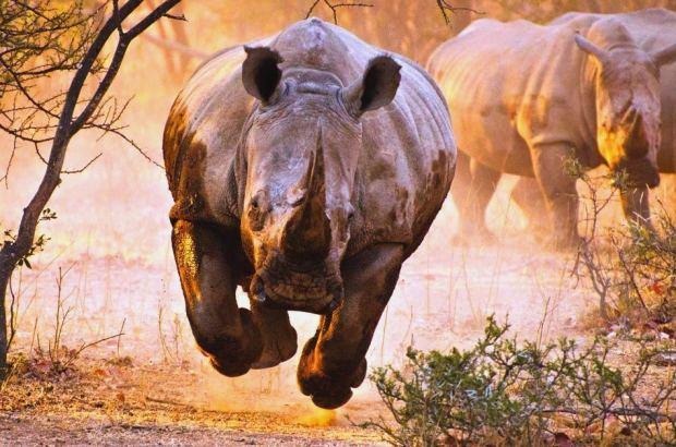 O ataque de um rinoceronte furioso