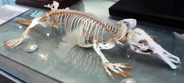 Esqueleto de um político, digo, ornitorrinco