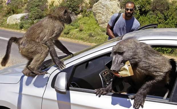 Babuínos saqueadores na Cidade do Cabo