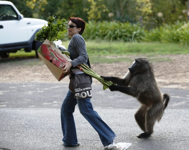 Flagrante do macho babuíno roubando uma cidadã
