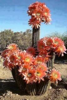 Cactos em floração
