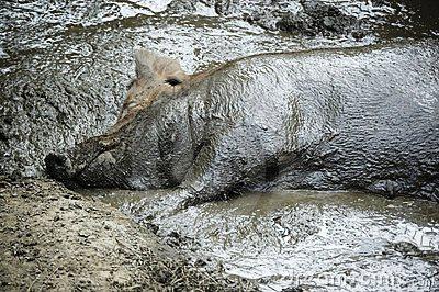 Suínos a chafurdar no lamaçal